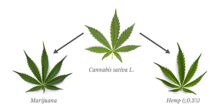 que es el cannabis