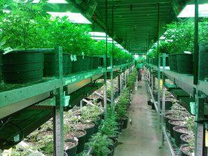 Siembra de Cannabis