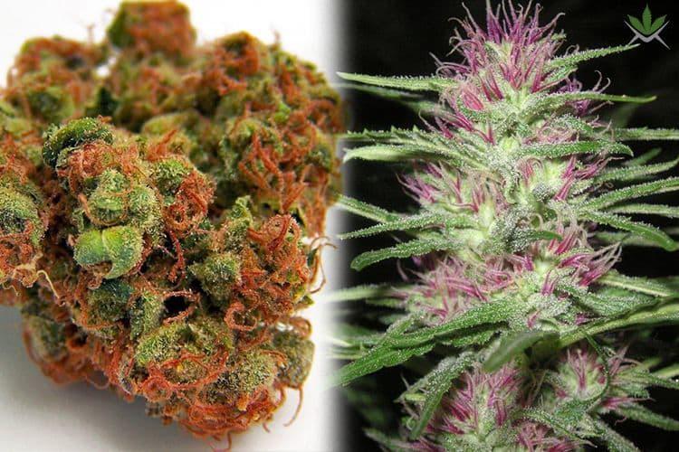Especies de Cannabis